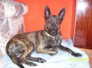 :  > Holandský ovčák (Dutch Shepherd Dog)