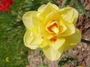:  > Narcis (Narcissus)