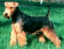 Psí plemena:  > Welsh terier (Welsh Terrier)